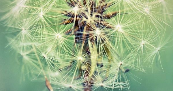 dandelion cell phone wallpaper quotes - photo #40