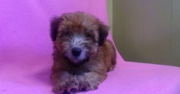 Soft Coated Wheaten Terrier Puppy For Sale In Paterson Nj Adn 20556 On Puppyfinder Com Gen Wheaten Terrier Puppy Puppies For Sale Soft Coated Wheaten Terrier