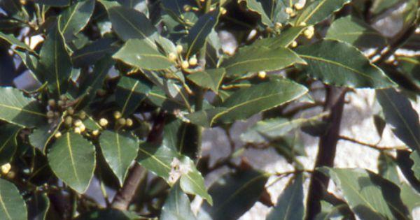 Laurus nobilis laurier sauce arbuste ou arbre en climat favorable a prot ger du grand froid - Laurier sauce maladie ...