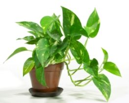 Golden Pothos Epipremnum Aureum Low Light To Bright Light Allow Soil To Dry Between Waterings Common House Plants Kitchen Plants Large Indoor Plants