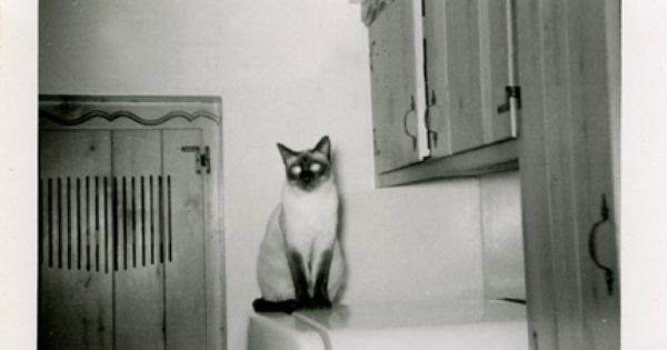 Vintage Siamese Cat Photos Siamese Cats Pretty Cats Cat Photo