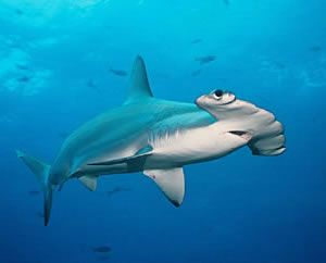 Galapagos Animales Bajo El Agua Tiburon Martillo Gran Tiburón Blanco