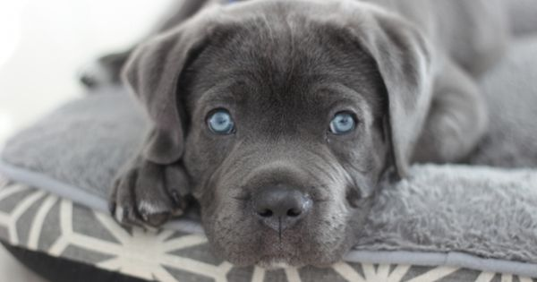 Blue Eyed Cane Corso Puppy Cane Corso Puppies Cute Dog Pictures Blue Cane Corso Puppies