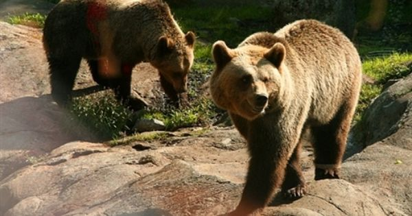 Brown Bears By Luca Pradella Tags Animals Park Skansen Zoo Skandinavien