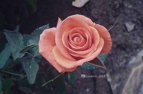 صور ورد تصويري صوري عدستي انستقرام Rose Flowers Plants