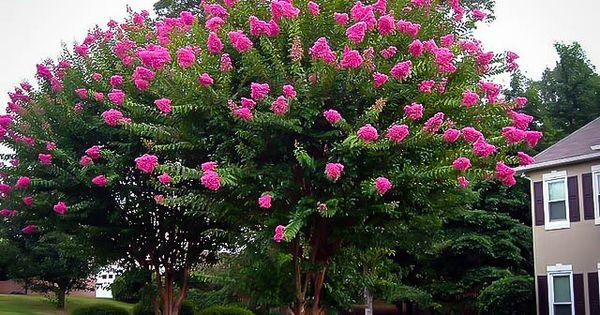 Sioux Crape Myrtle Myrtle Tree Crepe Myrtle Pink Crepe Myrtle