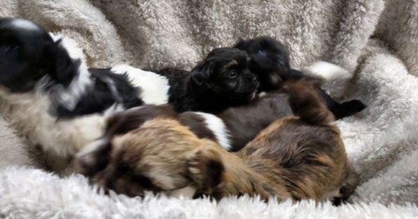 Litter Of 5 Havanese Puppies For Sale In Winston Salem Nc Adn