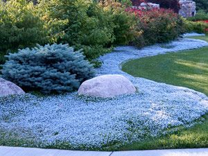 Isotoma Blue Star Creeper Fast Growing Sun Shade Ground Cover Perfect With Hardy Ferns Hostas Hydrangeas Sh Ground Cover Plants Shade Plants Ground Cover