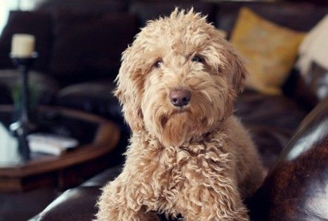 golden doodle. They look like teddy bears! I want one! @VeryValerie :)