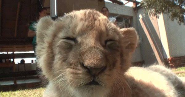 Lion Gif Com Imagens Animais Bonitos Videos Engracados De Animais Animais Engracados
