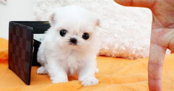 Micro Teacup Maltese Puppies 332793 South Africa Baby Bootsie