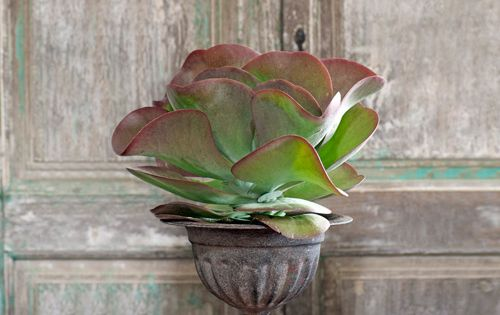 Paddle Plant ~ an uncommon house plant.. I have one of these
