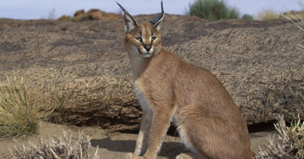 Caracal: Also known as the desert lynx, is a wild cat that ...