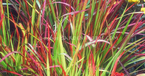 Imperata cylindrica 39 rubra 39 ornamental blood grass in for Red and green ornamental grass
