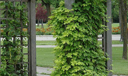 Humulus lupulus u0026quot;Nuggetu0026quot; : Flower Prospectus : Pinterest : Garden ideas and Gardens