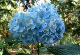 First Discovered In Japan The Name Hydrangea Comes From The Greek Hydor Meaning Water And Ornamental Plants Growing Hydrangeas Hydrangea Not Blooming