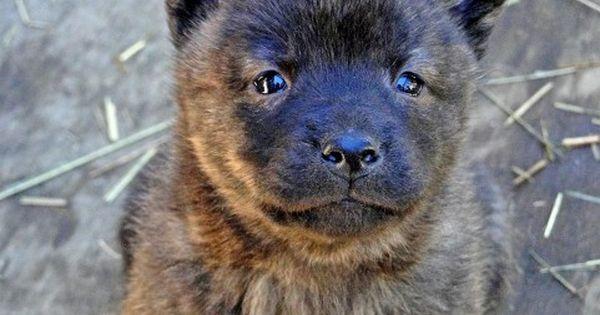 甲斐犬の性格や特徴と飼い方しつけ方について 犬 わんちゃん 可愛い犬