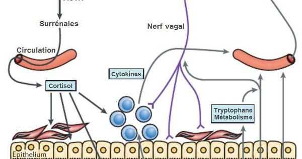 L 39 impact du microbiote intestinal sur le cerveau et le for Anatomie du meuble