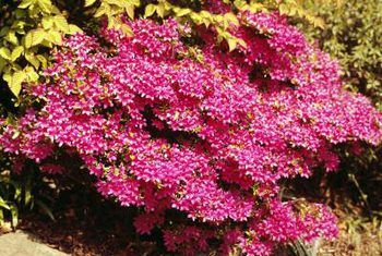 Good Plants For Morning Sun Midday Sun Flowering Bushes