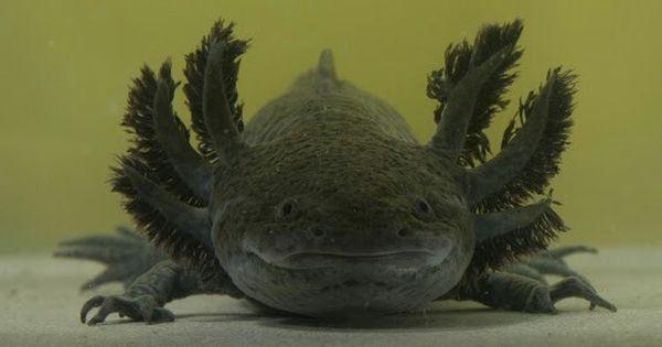 Axolotl Axolotl Axolotl Cute Melanistic