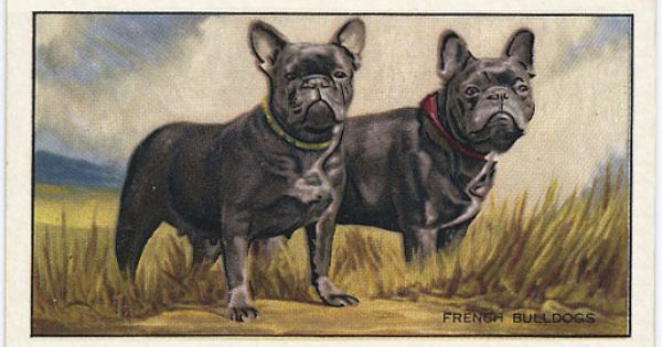 Historical Antique French Bulldog Photographs See