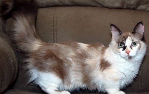 Attention Long Haired Cat Breeds Munchkin Cat Munchkin Kitten