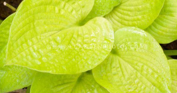 hosta 39 little aurora 39 hostas pinterest pflanzen. Black Bedroom Furniture Sets. Home Design Ideas