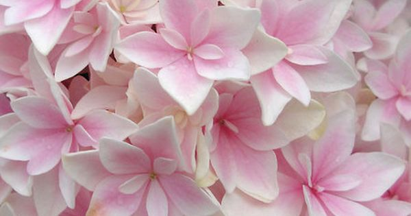 Hydrangea double delights freedom if i had a garden pinterest hydrangea flowers and gardens - Flowers that mean freedom ...
