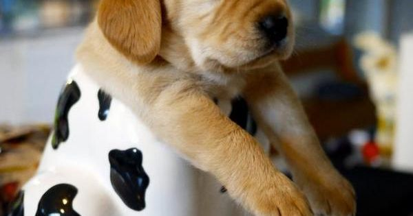 """HELP!!"" Puppy in a cookie jar. dog puppy pet animal dogLovers funnyDogs"