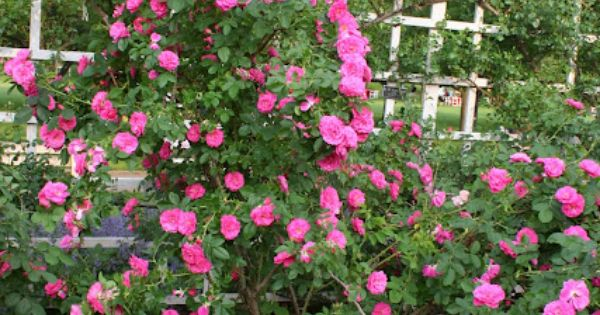 Front Yard Cottage Garden John Cabot Climbing Roses: Extremely Hardy, Low-care