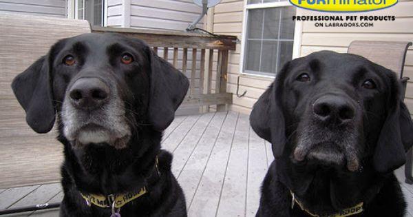 Furever Home Friday Bonnie Clyde Labradors Com Labrador Dog Lab Dogs Bonnie Clyde