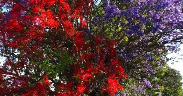 Red Illawara Flame Tree And Jacaranda Porch Pool