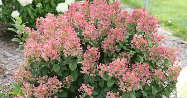 Quick fire hydrangea plant care quick fire hydrangea trees and shrubs pinterest - Nature curiosity stressed out plants emit animal like signals ...