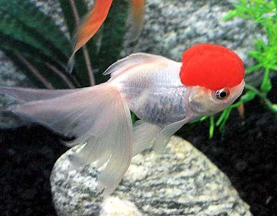 Redcap Oranda Goldfish Oranda Goldfish Goldfish Goldfish Care