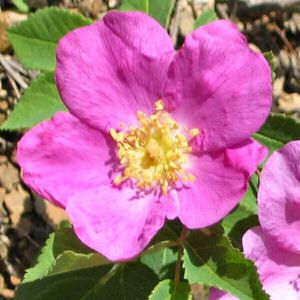 Wild Rose Rosa Canina Those Who Without Apparently Sufficient