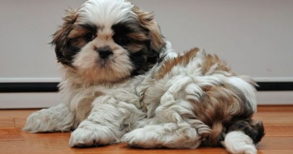 Shih Tzu Food 10 Common Mistakes Dog Owners Make Food Dog Food