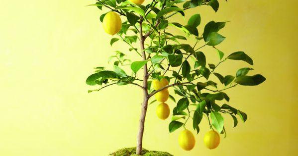 Fruitier en pot- agrumes et plantes exotiques à la maison!  Amitié ...
