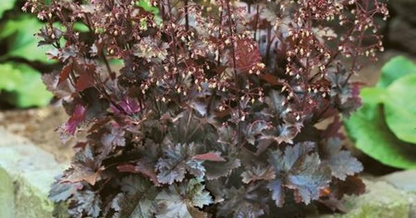 Heuchera Chocolate Ruffles I Love This Plant Have It On The East Side Of My House Gorgeous Foliage Heuchera Foliage Plants Plants