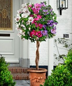 Hibiscus Plant Growing Caring Guide And Its Uses Planted Well Hibiscus Plant Hibiscus Tree Hibiscus Garden