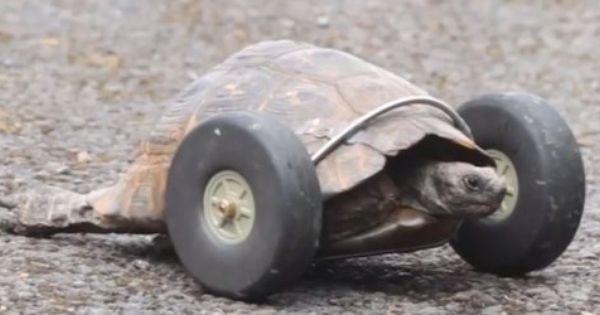 Verstummelte Schildkrote Kann Mit Reifen Wieder Gehen Der Spiegel Panorama Mit Bildern Schildkrote Tiere Reifen