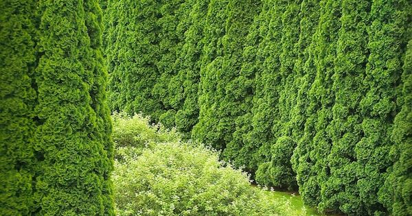 Arborvitae hedge in Connecticut garden of Stacey Bass