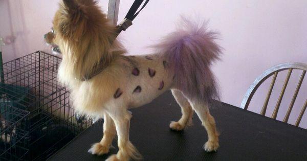 The Pomeranian lion cut with leopard spots! | Happy ...White Pomeranian Lion Cut