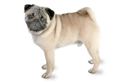 Pug Dog Breed Information Pictures Characteristics Facts Pug