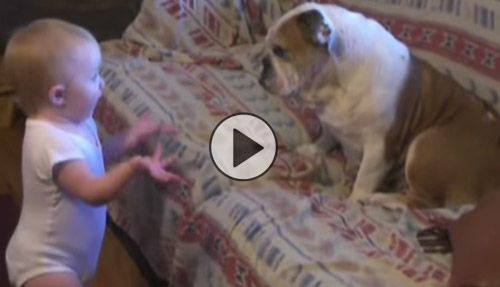 Cutest Argument Ever Erupts Between Toddler And English Bulldog