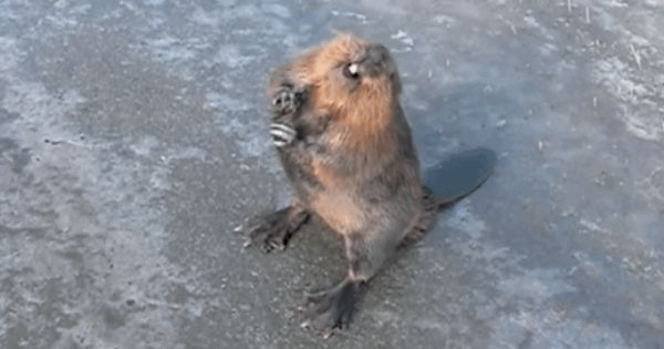 This Beaver That Doesn T Feel Emasculated By A Funny Woman