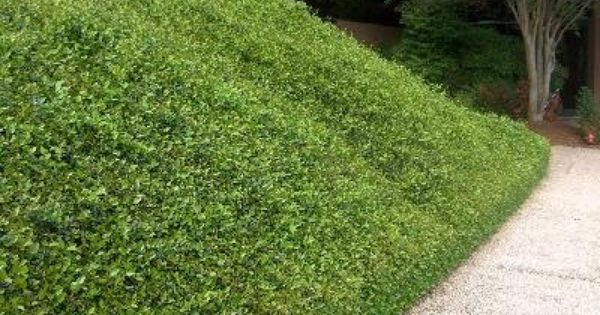 Asiatic Jasmine For All Driveways Nice Tight Ground Cover Ground Cover Plants Ground Cover Landscape Design