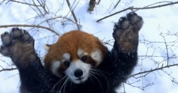 Red Pandas Playing In The Snow With A Funny Songdrops Song Pandas Playing Funny Animals Red Panda