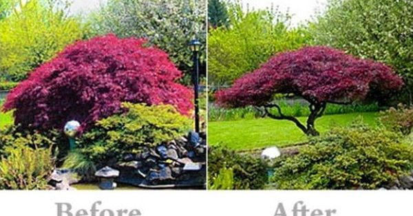 pruning your japanese maple  u2026