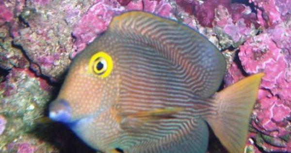 Yellow Eye Tang Saltwater Fish Tangs Yellow Eyes Fish Marine Fish