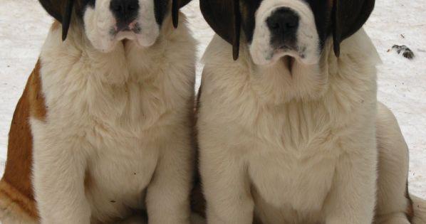 Gorgeous Puppies Our Beautiful World... St Bernard's Dog http://www.ecoglobalsociety.com/st-bernards-dog/